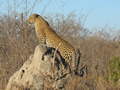 Leopard On The Lookout, Sabi Sand Game Reserve, &copy;Simon Fisher